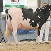 OntarioSummer2017_Holstein_1M9A2996
