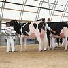 OntarioSummer2017_Holstein_1M9A2929