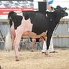 OntarioSummer2017_Holstein_1M9A2759
