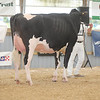 OntarioSummer2017_Holstein_1M9A2956