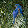 These Hyacinth Macaws hung out in front of my room.