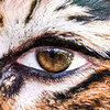 Photoshop 1: Eye of the Tiger