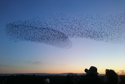 Starling murmuration at Studland Beach