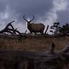 Bull Elk in the evening