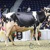 Royal2017_Holstein-6019