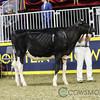 Royal2017_Holstein-4255