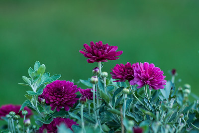summerflowers-08259x