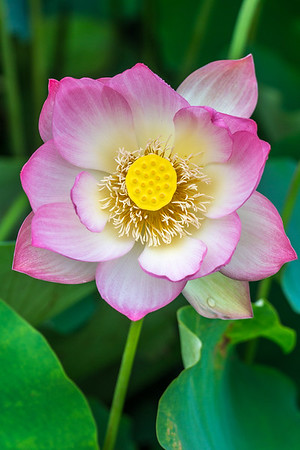 Echo park lotus
