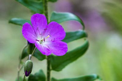 Purple spring geranium