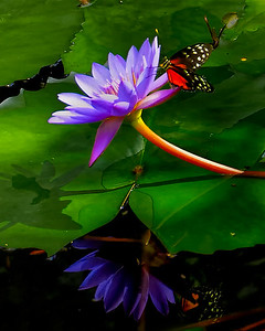 Lily Pad Reflection