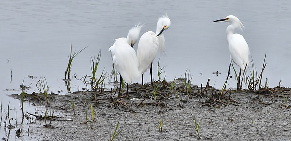 Preening Downy Egrets