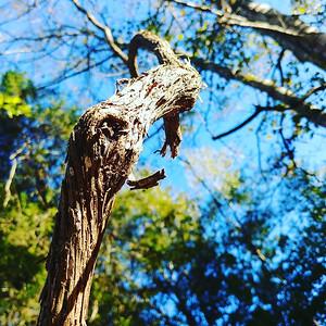 Wild Wood Vines