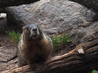 Marmot--Yellowstone's Wildlife