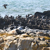 Pelicans at Pigeon Point Lighthouse