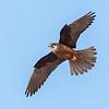 Eleonora's falcon, Falco eleonorae, Pale adult female, Karpathos, Greece, Sept-2017