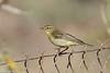 Willow warbler or chiffchaff?, Avlona, Karpathos, Sept 2017