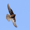 Eleonora's falcon, Falco eleonorae, Karpathos, Greece, Sept-2017