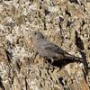 Blue rock thrush, Blådrossel, Monticola solitarius, Female. Diafani, Sep-2017