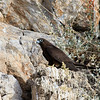 Eleonora's falcon, Falco eleonorae, Dark adult, Karpathos, Greece, Sept-2017