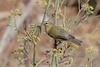 Willow warbler, Phylloscopus trochilus, Avlona, Karpathos, Sept 2017