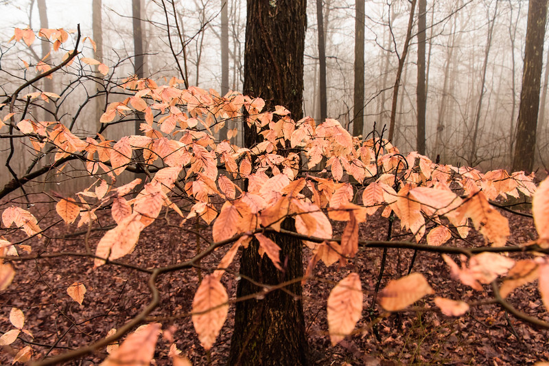 Beech trees-in fog