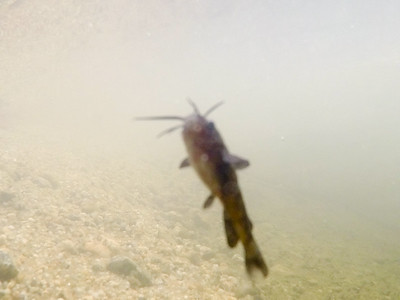 Blurry, but a baby catfish