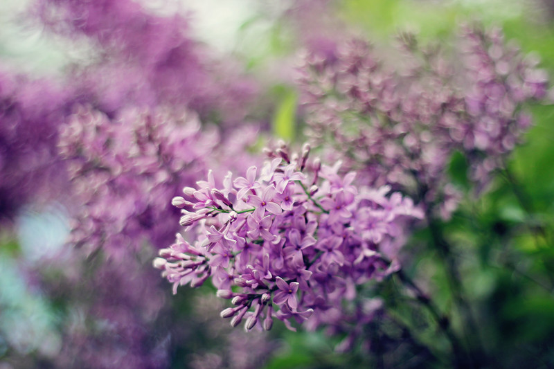 Lilacs In Bloom....