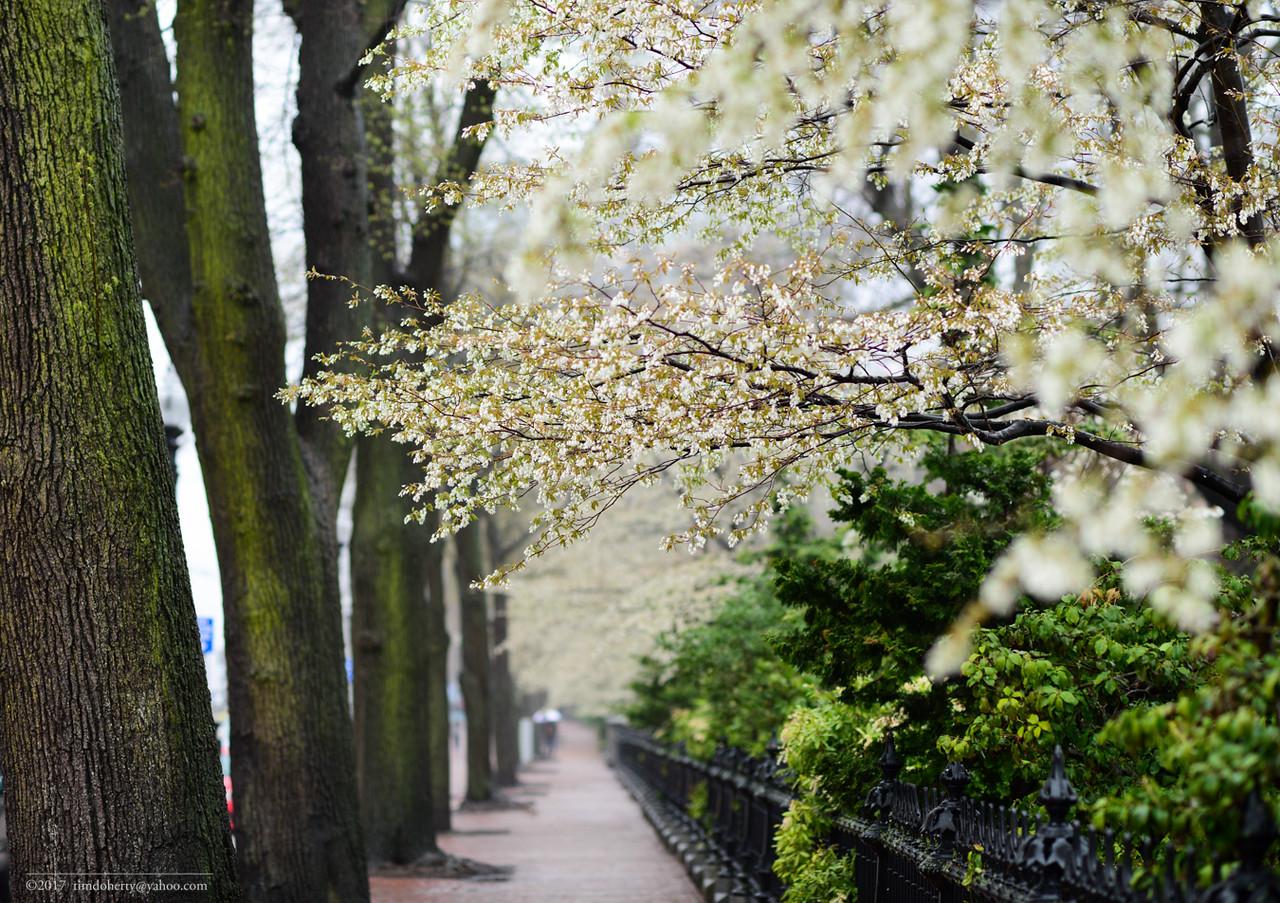 Spring in the Public Garden.