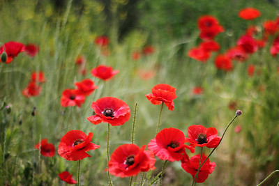 Red Poppies...