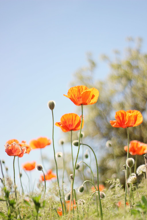 Poppies and Sunshine...