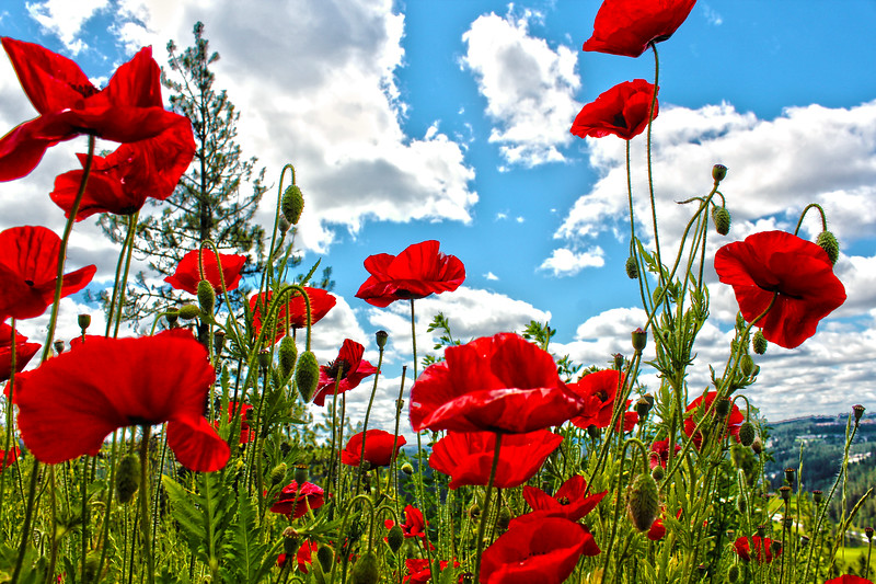 Red Poppies!!