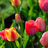 Tulips in the Public Garden in Boston.