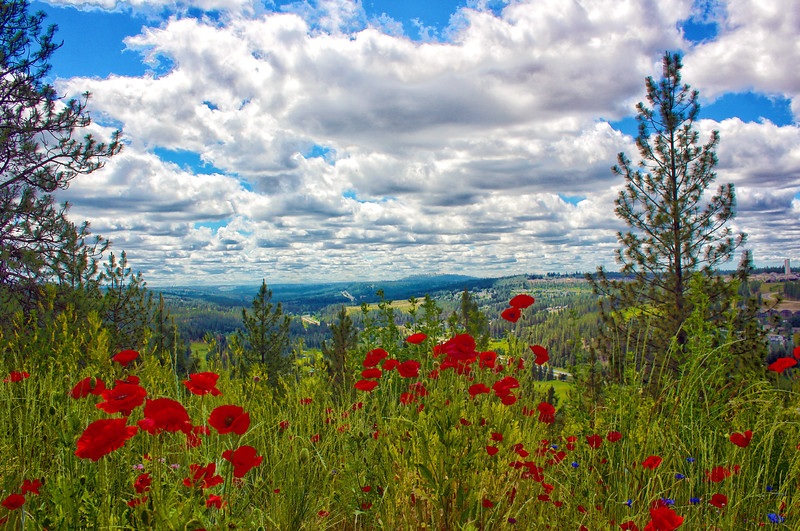 Red Poppies....