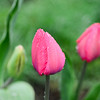 The first of the Tulips