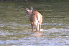 Toronto - Humber Deer
