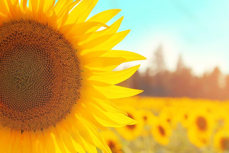 Sunflower Fields Forever....