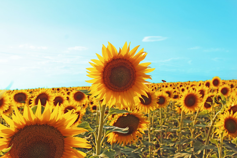 Sunflower Fields Forever....