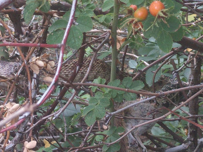 Look closely and you'll see a snake eating a chipmunk