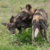 We were lucky enough to see these wild dogs.
