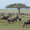 Some wildebeests stopping to eat on their migration.