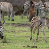 Notice the coloring of the young zebra.  It's to better blend into the brush.