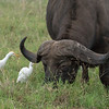 In the Ngorongoro Crater, a Cape Buffalo with cattle egrets.