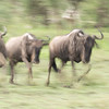 Trying to show the wildebeests in motion. Sometimes we tried to follow them thinking something was hunting them. However it was always a false alarm.