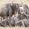 Some of the wildebeests we came to see.