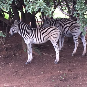Zebra sighting - Rob Williamson