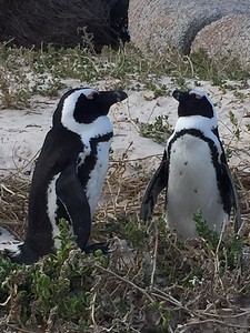 Penguins at Boulders Beach - Kristin Appelget