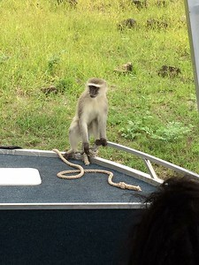 Monkey business on the Chobe River - Kristin Appelget