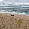 Hawaiian Monk Seal resting at Ho'okipa Beach Park.