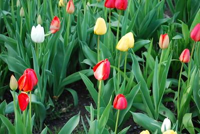Tulips :: May 10 2017