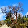 Tree near Malahat Summit, Vancover Island